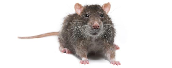 Bekjempelse av rotter, Vaktmester Andersen